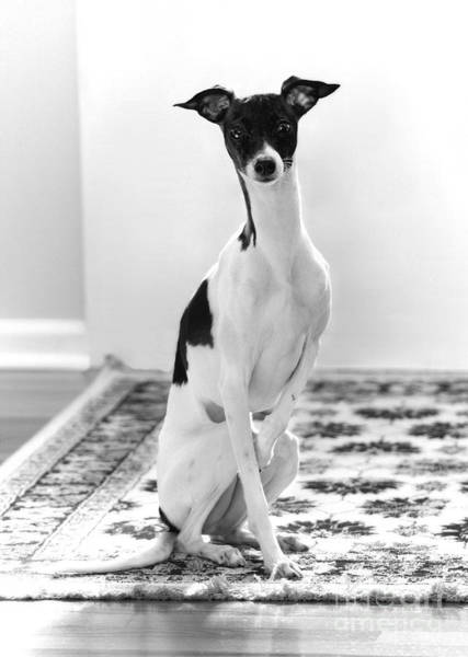 Photograph - Piebald Italian Greyhound In Black And White by Angela Rath