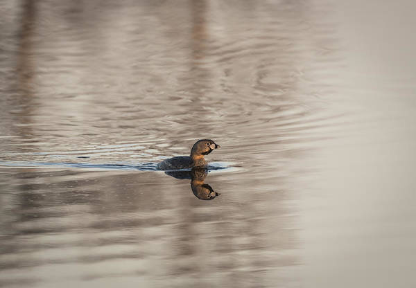 Wall Art - Photograph - Pied-billed Grebe 2016-1 by Thomas Young