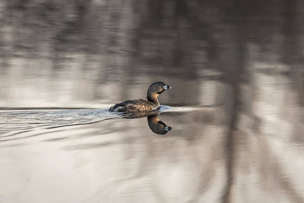 Wall Art - Photograph - Pied-billed Grebe 2016-2 by Thomas Young