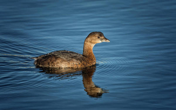 Photograph - Pied Billed Grebe by Randy Hall
