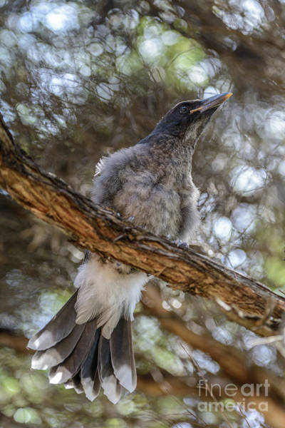 Pied Currawong Chick 1 Art Print