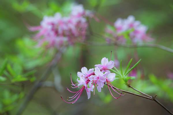 Photograph - Piedmont Azalea Bloom by Jim Neal