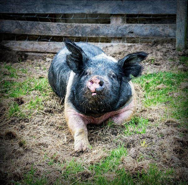 Pigpens Photograph - Pig Out by Brian Wallace