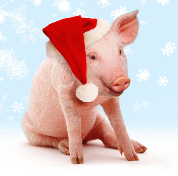 Photograph - Pig Out This Christmas by Warren Photographic
