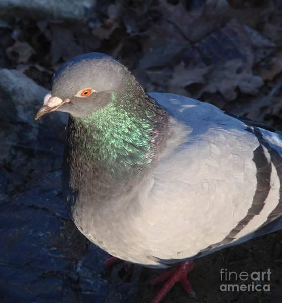 Wall Art - Photograph - Pigeon Beauty by Valia Bradshaw