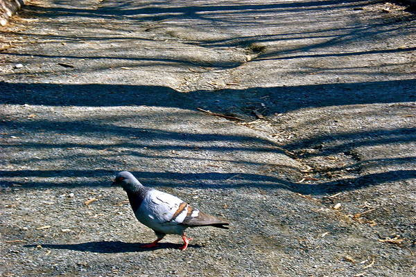 Photograph - Pigeon Crossing Path by Felix Zapata