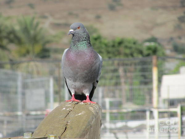 Photograph - Pigeon On Galilee Boat #2 by Donna L Munro