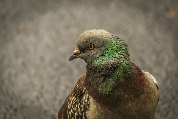 Photograph - Pigeon To Left by Jorge Perez - BlueBeardImagery