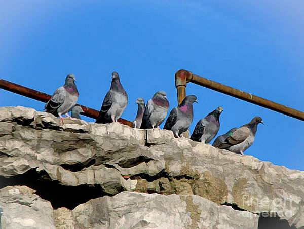 Photograph - Pigeons All In A Row by Rose Santuci-Sofranko
