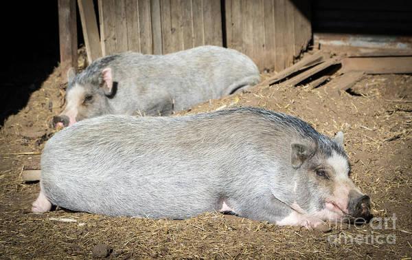 Pigpens Photograph - Piggies by Cheryl McClure