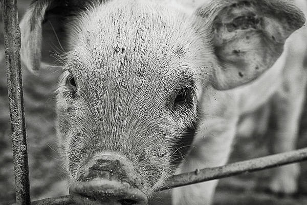 Photograph - Piglet by Lora Lee Chapman