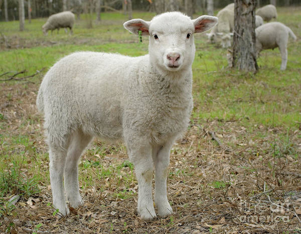 Sheep Photograph - Piglet by Warren Sarle