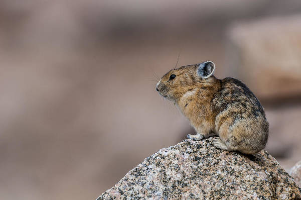 Photograph - Pika by Gary Lengyel