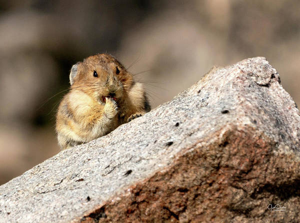 Photograph - Finger Lickin' Pika by Judi Dressler