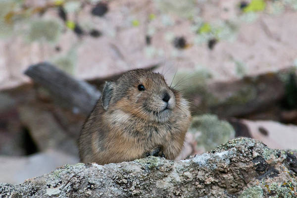 Photograph - Pika On The Lookout by Cascade Colors