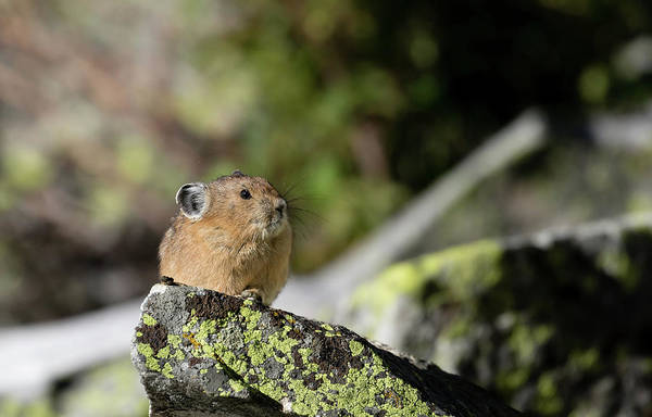 Photograph - Pika by Ronnie and Frances Howard