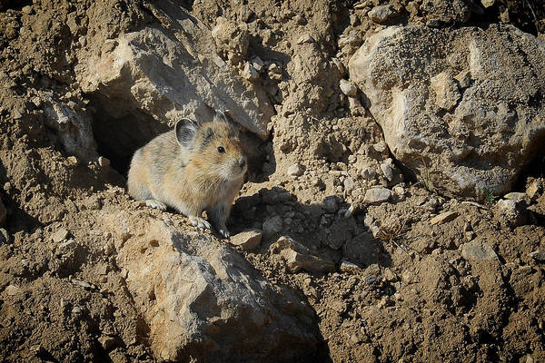 Photograph - Pika, The Rabbit's Mountain Cousin by Mary Lee Dereske