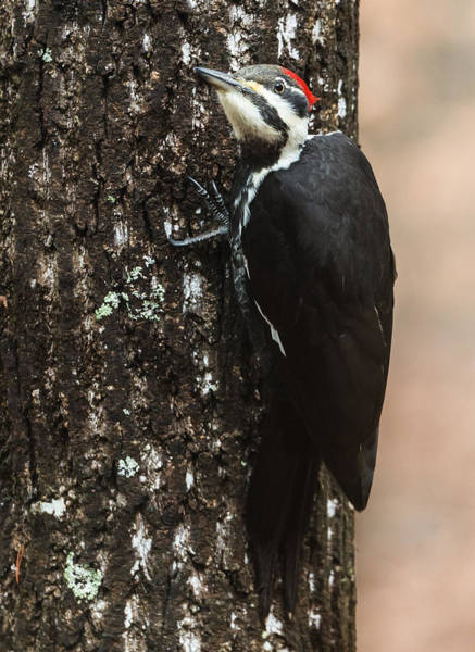Photograph - Pileated Woodpecker by Walt Sterneman