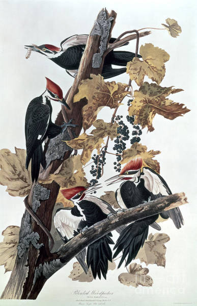 Audubon Painting - Pileated Woodpeckers by John James Audubon