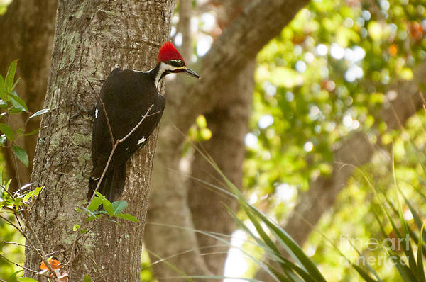 Photograph - Piliated Woodpecker 2 by Photos By Cassandra