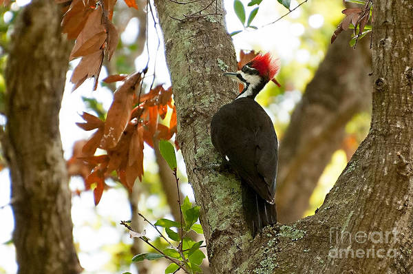 Photograph - Piliated Woodpecker by Photos By Cassandra