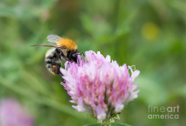 Wall Art - Photograph - Pillination - Bumble-bee In Bloom by Michal Boubin
