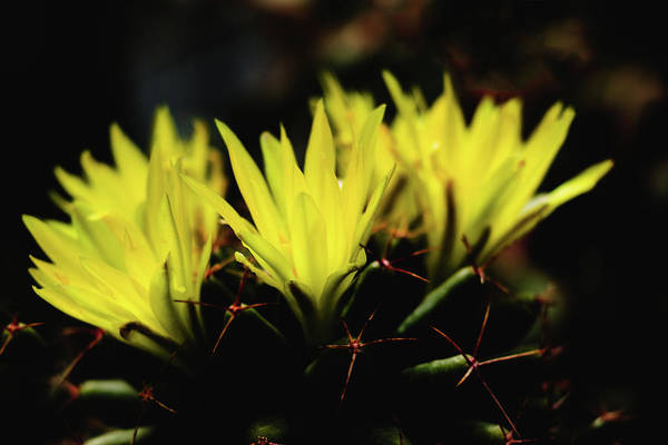 Photograph - Pincushion Cactus - Mammillaria - Yellow Flower by Cristina Stefan