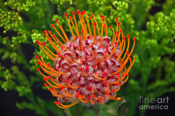 Photograph - Pincushion Flower by Kelly Holm