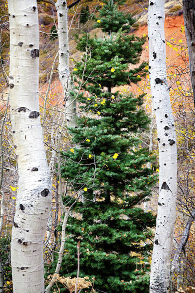 Photograph - Pine And Aspens Large Canvas Art, Canvas Print, Large Art, Large Wall Decor, Home Decor, Photograph by David Millenheft