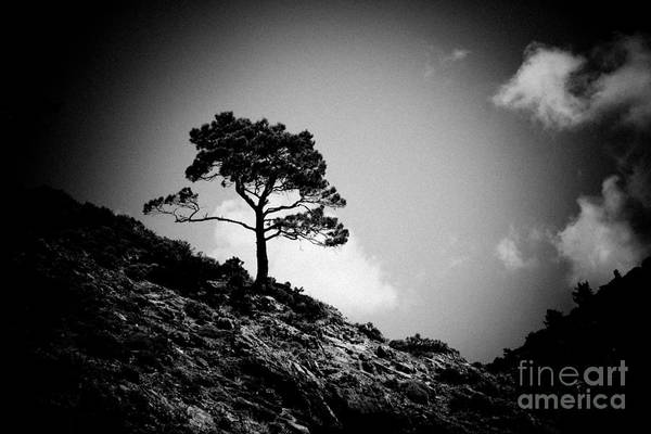Photograph - Pine At Sky Background Artmif.lv by Raimond Klavins