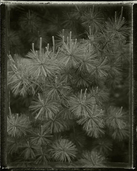 Photograph - Pine by Bud Simpson