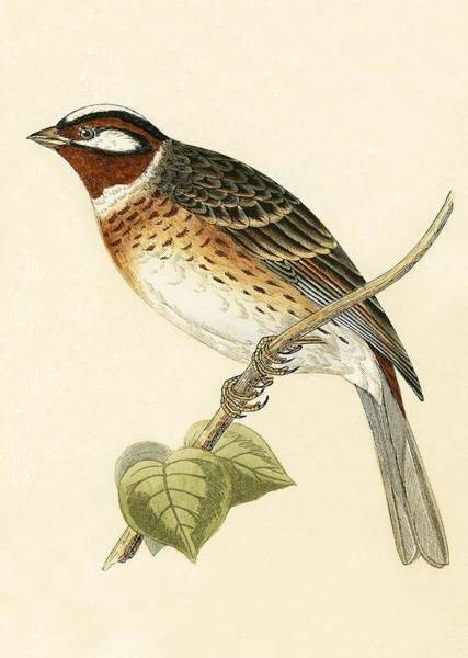 Bunting Painting - Pine Bunting by English School