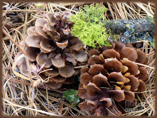 Photograph - Pine Cone And Reindeer Moss 2 by Charles Robinson