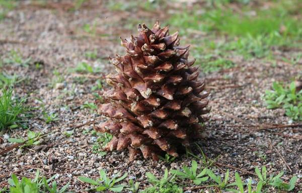 Photograph - Pine Cone  by Christy Pooschke
