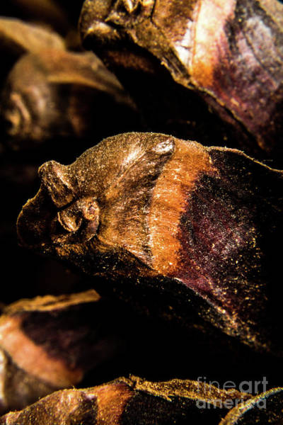 Photograph - Pine Cone by Nigel Dudson