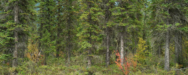 Wall Art - Photograph - Pine Forest British Columbia Canada by Steve Gadomski