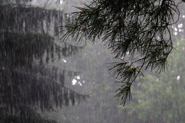 Photograph - Pine In Rain by David Coblitz
