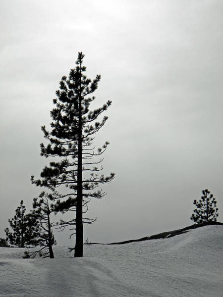 Photograph - Pine In Snow by Frank Wilson