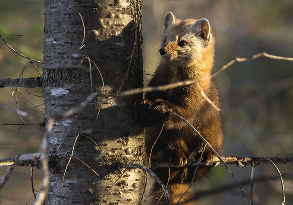 Sony Photograph - Pine Marten  by Cale Best