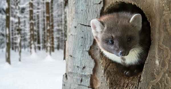 Photograph - Pine Marten In Tree by Arterra Picture Library