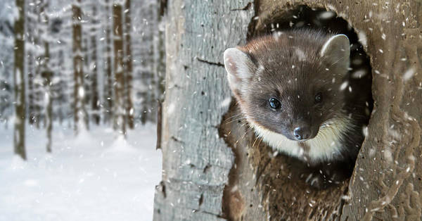 Pine Marten In Tree In Winter Art Print