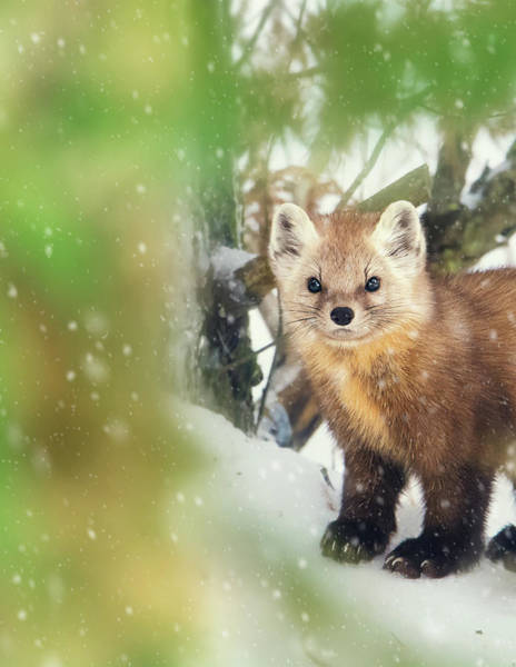 Photograph - Pine Marten by Tracy Munson