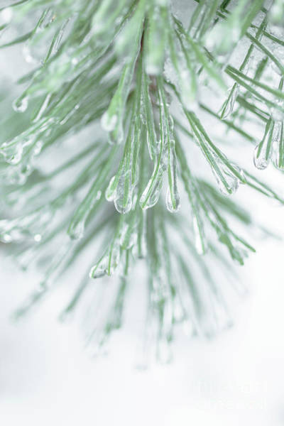 Photograph - Pine Needles After The Ice Storm by Edward Fielding