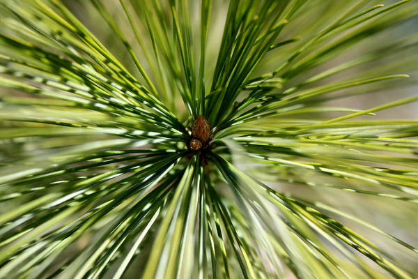 Photograph - Pine Needles by Laura Kinker