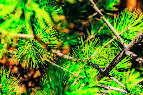 Wall Art - Photograph - Pine Needles  by Nancy Marie Ricketts