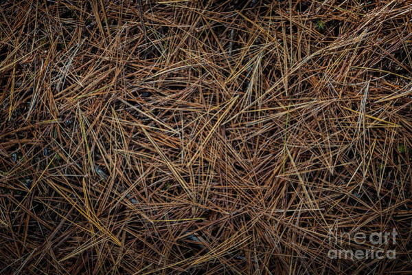 Wall Art - Photograph - Pine Needles On Forest Floor by Elena Elisseeva