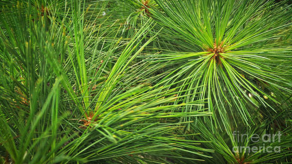 Photograph - Pine Needles by Robert Knight