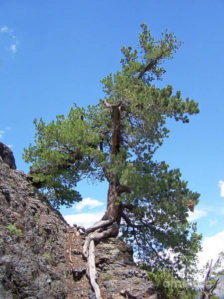 Photograph - Pine On The Rocks by Jennifer Robin