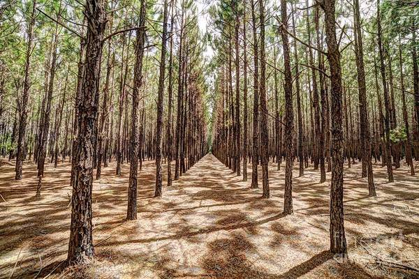Photograph - Pine Plantation Wide Color by Tommy Patterson