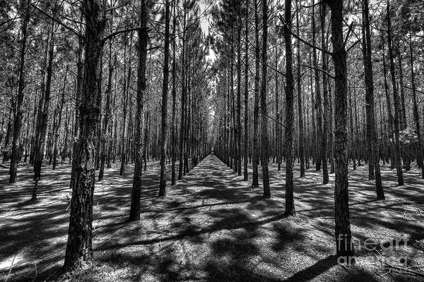 Pine Plantation Wide Art Print